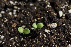 Forget-me-not seedlings.