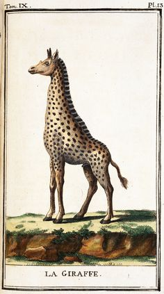 Giraffe, from Georges Buffon, Histoire naturelle, 1785-91. / I would guess the artist never saw a real giraffe.