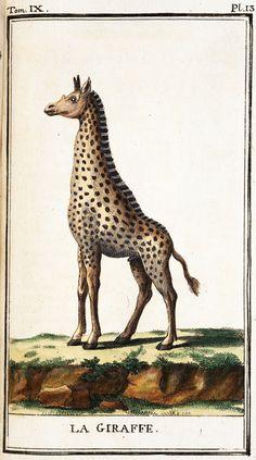 Giraffe, from Georges Buffon, Histoire naturelle, 1785-91.