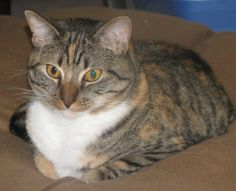 Buttercup is an adoptable Domestic Short Hair Cat in Cumming, GA. Hi there, I'm Buttercup. I was found as a pregnant stray kitty and gave birth to 4 kittens. I'm a beautiful and sweet tortie that love...