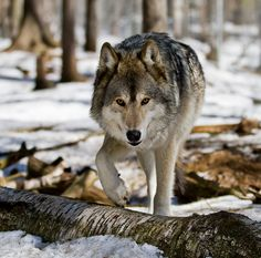 Gray/Timber Wolf