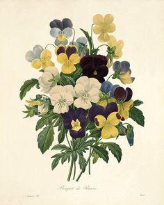 Bratek grafika Bratki ilustracja plakat kwiaty - VICTORIANWALLART - Ozdoby na ścianę