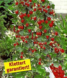 Kletter-Erdbeere 'Hummi®' und Dekorativer Rankturm,1 Set