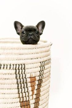 Peek-A-Boo 【ツ】Frenchie