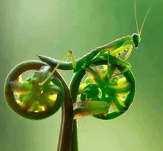 Praying mantis riding a fern bike