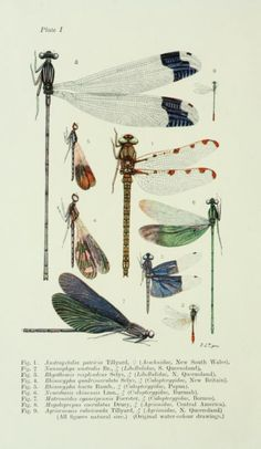 Plate taken from The Biology of Dragonflies by R J Tillyard Published by Cambridge University Press 1917 Science Illustration, Nature Illustration, Botanical Illustration, Botanical Drawings, Botanical Prints, Old Illustrations, Dragonfly Illustration, Scientific Drawing, Dragonfly Art