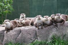 A group of otters is called a romp!