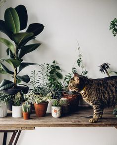 Urban jungle - tabletop of plants plus a cat! Decoration Plante, Decor Scandinavian, Plants Are Friends, Plant Design, Green Plants, Cat Plants, Belle Photo, Houseplants, Indoor Plants