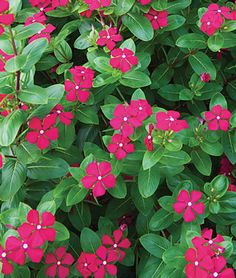Vinca, Merry Go Round Red  Heat loving beauties with flowers that resemble impatiens.