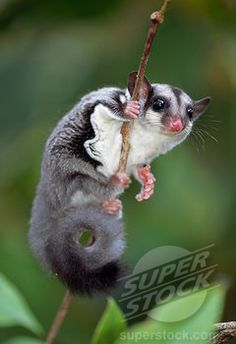 Stock Photo #4201-68234, Sugar Glider (Petaurus breviceps) clinging to branch, Crater Mountain, Papua New Guinea