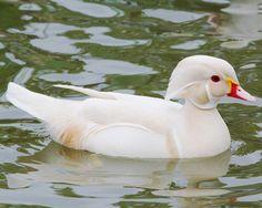 Canard carolin albinos : la Ferme de Beaumont, Mandarin et carolin