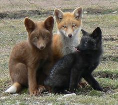 The Little Foxes There always has to be one that sticks his tongue out when you take the picture! Three fox kits on San Juan Island, Washington state. They live wild on the meadows. That is a rabbit fence behind them, not a cage.