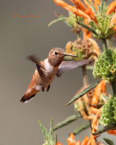 Hummingbird  by Victoria Morrow