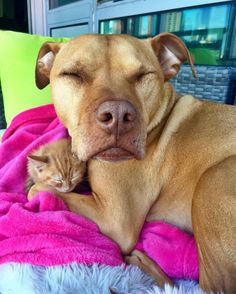 Rescued Pit Bull Treats 'Little Sister' Kitten Like a Princess