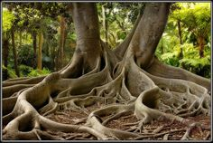 Ficus tree in Selby Gardens, Sarasota, Florida - We had our wedding in the Gardens and a photo taken here.