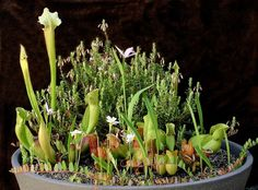 Carnivorous Bog Garden always a great addition to any garden