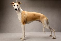 whippet standing - Google Search