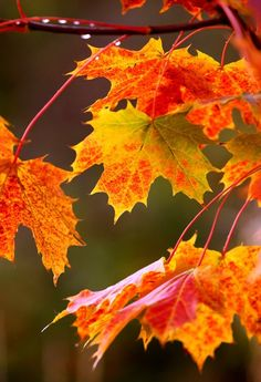 "Maple trees are the embodiment of fall foliage. So-called ""leaf peepers"" in North America drive hundreds of miles in October to places like the White Mountains of New Hampshire to marvel at the colors of these special autumn trees. I tell you about some of the best types of maple for fall color here: http://landscaping.about.com/cs/fallfoliagetrees/a/fall_foliage7.htm"
