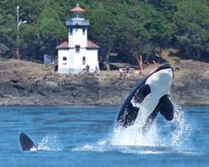 Lime Kiln State Park - one of the best places to view Orca Whales from the shore. San Juan Island, Washington