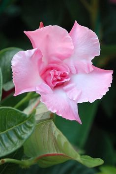 Mandevilla 'Pink Parfait', also known as Chilean Jasmine with a wonderful scent throughout the summer.