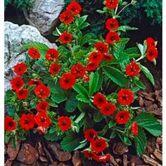 Crimson red dianthus perrenial in full bloom this was planted in potentilla gibsons scarlet potentilla drought tolerant flowering plant also called cinquefoil mightylinksfo