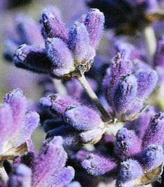 Lavender close up - Mayfield Lavender | Flickr - Photo Sharing!