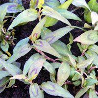Vietnamese coriander: Persicaria odorata