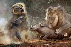 Lions Super Killing Machines National Geographic Documentary Full HD P... | Animals | Pinterest | Lions, Insects and Animal