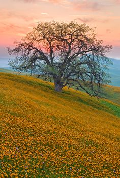 ~~Guardian of the Foothills ~ California Oak in spring, sunset near Bakersfield, California by Mark Geistweite~~