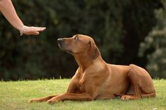 The way to train a dog is to be consistent with your training. It is important to pick one style of training and stick with it. Consistency in the method of training is just one step. You must also consistently train your dog. Taking breaks in training confuses your dog and training will take longer.