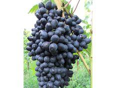 Viničné štepy - Atika Ale, Fruit, Food, Ale Beer, Essen, Meals, Yemek, Eten, Ales