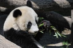 Mr. Innocent Fu Fu, he was born on 23. August 2010, Novembers 2012 Fu Hu was submitted to the panda research station Bifengxia again in China, every Pandy baby remains only 2 years in the Zoo Vienna