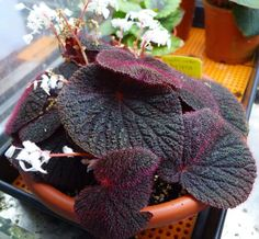 Begonia baik