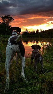 Gsp Photograph - Frog Hunters 2 by Brook Burling