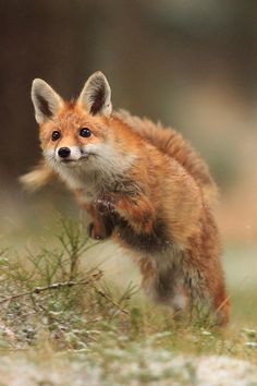 I'd love to have this red fox at home, even if he would tear the skin off you!  LOL