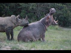aaah the possibilities!! haha so cute!! rhinopopotamus loooove /// Rhino and Hippo Date Night Part 1 - YouTube