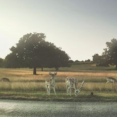 Beautiful and serene, Richmond Park captured by @Mr Whisper for our #igerslondoninthepark contest! #richmondpark #london #londoninthesun.
