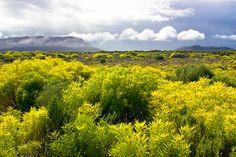 Leucadendron Coniferum Dune Conebush Duinegeelbos 4 m S A no 82 Chapman House, Hedges, Dune, Shrubs, Vineyard, Mountains, Nature, Plants, Travel