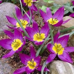 Tulipa humilis Eastern Star - Species Tulips - Tulips - Flower Bulb Index Rock Garden Plants, Tulips Garden, Garden Bulbs, Fall Plants, Planting Flowers, Bulb Flowers, Tulips Flowers, Daffodils, Purple Flowers