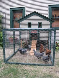 Tips for raising backyard chickens for eggs. Includes information on food and water, sunlight and soil, and coop needs.