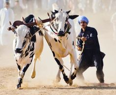 Bull Race Photo by Zagham Awan -- National Geographic Your Shot