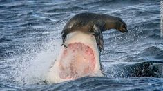 Foto: Una foca escapa por poco del ataque de un tiburón blanco en las costas de Sudáfrica – CNN en Español: Ultimas Noticias de Estados Unidos, Latinoamérica y el Mundo, Opinión y Videos - CNN.com Blogs