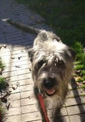 Ruby is an adoptable Irish Wolfhound Dog in Santa Rosa, CA. Ruby is a young, highly energetic adolescent dog in need of the right home. Her ideal adopters will be experienced, have a secure yard and b...