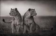 Nick Brandt, Lionesses Readying to Hunt