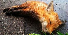 A Man Found A Dead Fox In The Street On His Way To Work.  When He Returned On The Way Home, He Could Not Believe What He Saw.