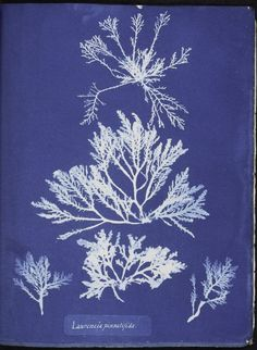 Botanical - Cyanotype - (21)