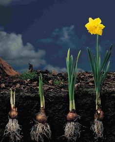 Daffodil bulb growing