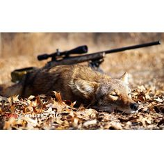 A Beginner's Guide To Coyote Hunting | 365 Whitetail