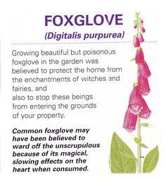 magical flowers foxglove