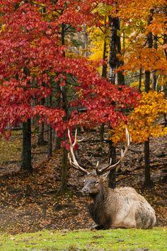 Superb Nature - earthandanimals: Bull Elk Photo by Michael. Autumn Scenery, Autumn Trees, Autumn Lights, Autumn Leaves, Beautiful Creatures, Animals Beautiful, Majestic Animals, Beautiful Things, Bull Elk